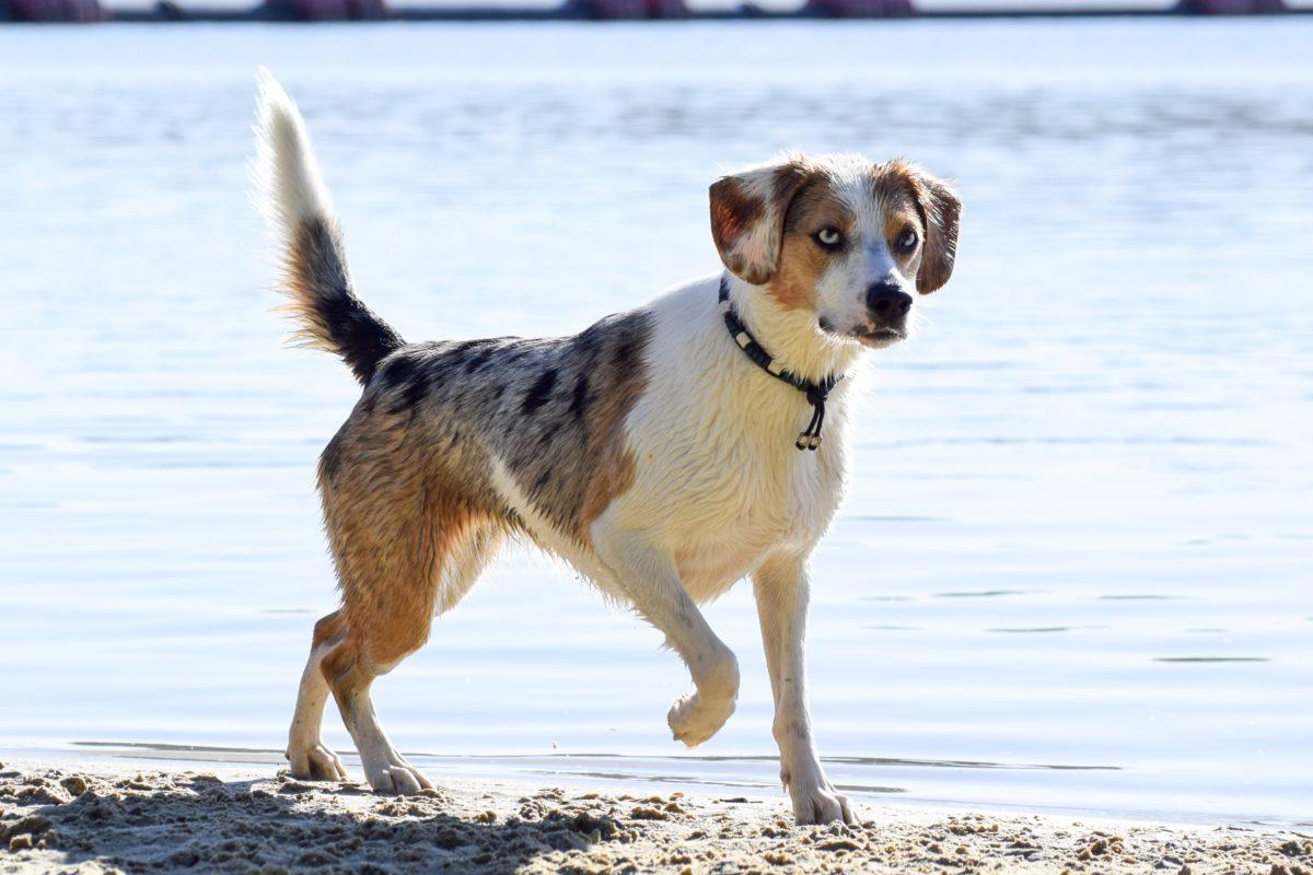 Australian Shepherd und Beagle? Ist das nicht eine unheimlich anstrengende Mischung?